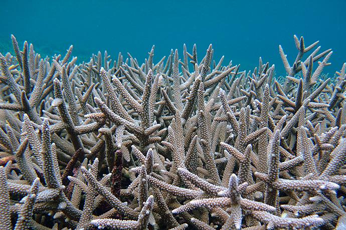 紫色のエダサンゴ