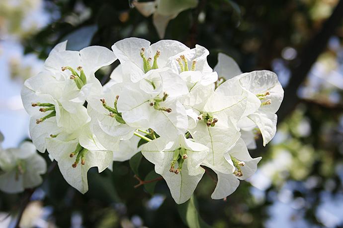 白のブーゲンビレア