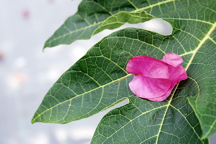 パパイヤの葉っぱに落ちたブーゲンビレア