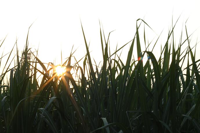さとうきび畑と夕日1