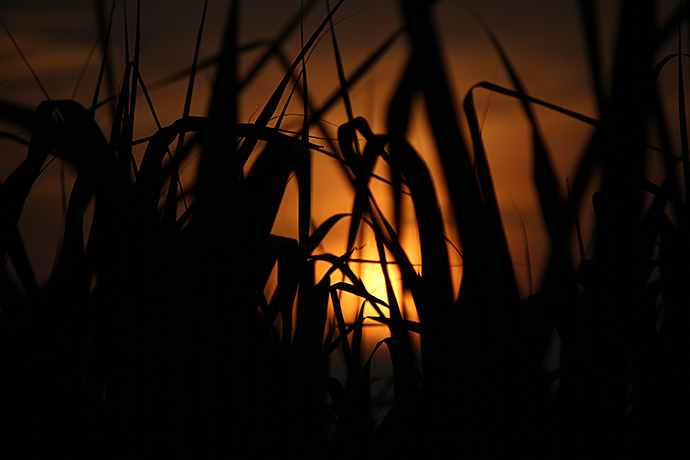 さとうきび畑と夕日5