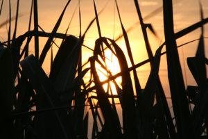 さとうきび畑と夕日